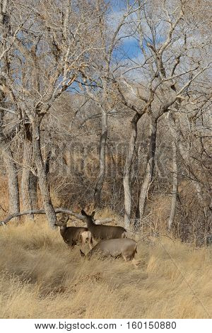 Mule deer resting in meadow surrounded by winter bare trees
