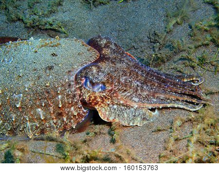 The surprising underwater world of the Bali basin, Island Bali, Puri Jati, cuttlefish