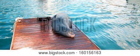California Sea Lion on marina dock in Cabo San Lucas Baja Mexico BCS
