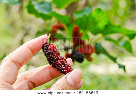 Hand hold fresh ripe black and red mulberry in mulberries garden.