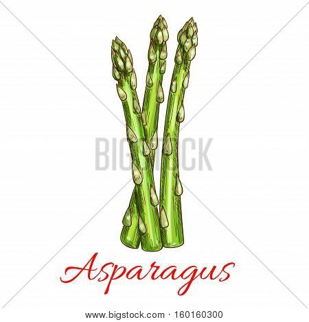 Asparagus vegetable stem isolated sketch. Bunch of fresh green asparagus sprout. Healthy food, dieting, vegetarian salad recipe design