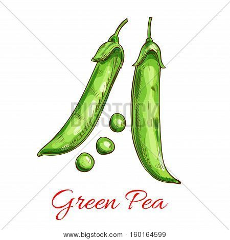 Green pea vegetable isolated sketch. Fresh pod of sweet pea with green grain. Organic farming, vegetarian salad recipe, food packaging design