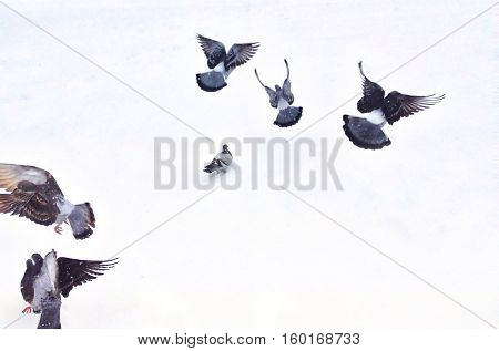 Flying pigeons on white snow at a park