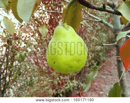 photography with scene of the ripe pear on branch in garden