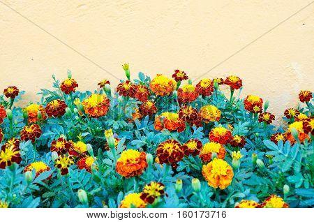 Marigold and orange concrete wall texture .