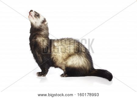 Ferret male on white background posing for portrait in studio