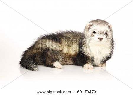 Pretty ferret on white background posing for portrait in studio