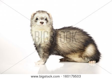 Ferret female on white background posing for portrait in studio