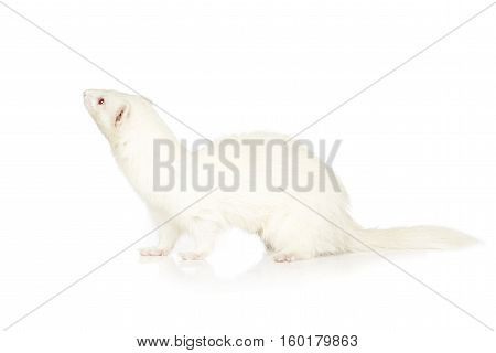 White ferret on white background posing for portrait in studio