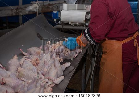 poultry processing in food industry. meat production.
