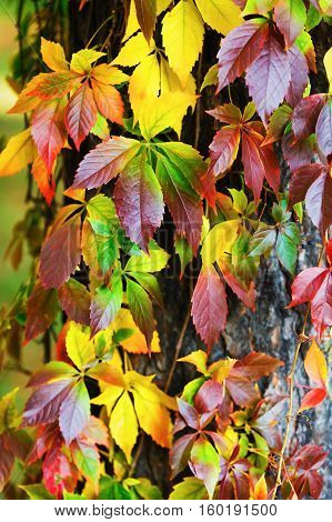 Beautiful autumn foliage. Virginia creeper leaves background. Colorful autumnal foliage over blurred background. Vertical shot.