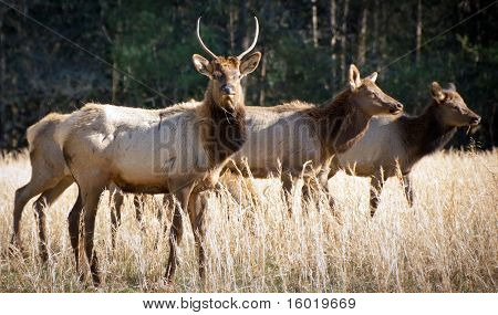 Elk Wildlife Photography In Great Smoky Mountains National Park