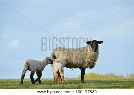 Ewe and Lambs in the spring sunshine