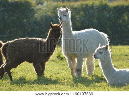 Three Llamas in a Field in Spring