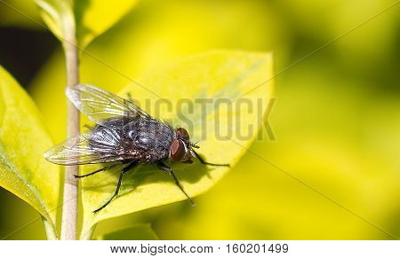 Close up of a common house fly on a green leaf