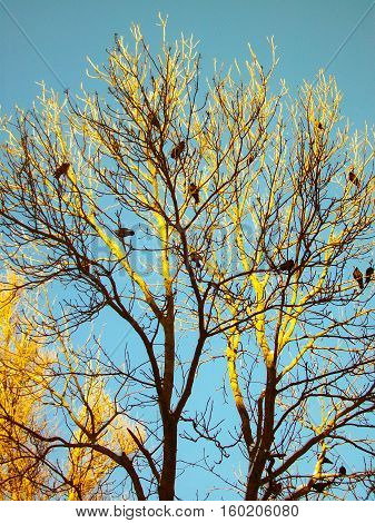 black crows bask in the tree on the top of the tree in the sun