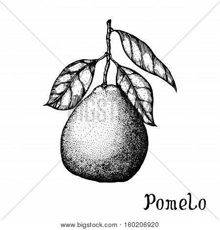 Hand drawn pomelo isolated on white background. Vector illustration of highly detailed citrus fruits
