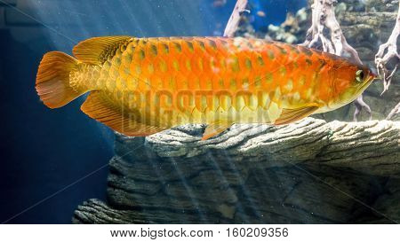 Bright golden colored carp swam by in an aquarium.