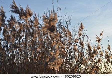 Swaying field of Feather Reed Grass on American midwest prairie in autumn.