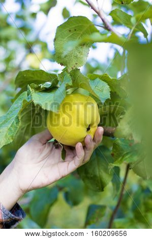 Holding a Freshly Picked Green Apple in an Orchard