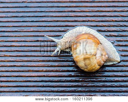 Big snail on the wet terrace - Helix pomatia Burgundy snail Roman snail edible snail - shallow depth of field - copy space