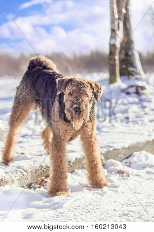 Dog Airedale Terrier playing and running on a snow in a sunny winter day