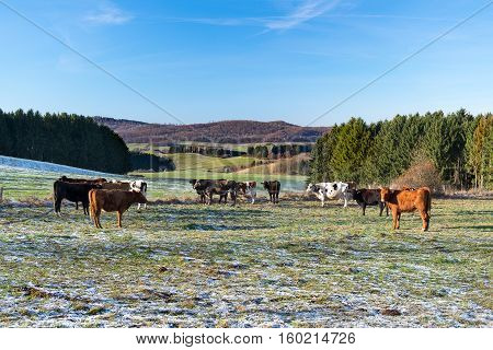 Herd of cows grazing in the winter meadows
