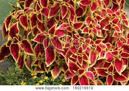 Plectranthus scutellarioides / Plectranthus scutellarioides, commonly known as coleus, is a species of flowering plant in the family Lamiaceae