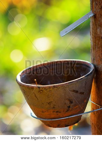 Getting Of Milk Of Rubber Tree