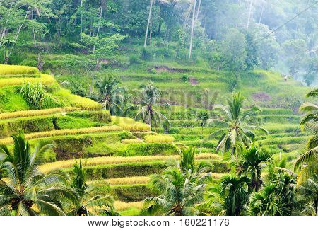 Rice Terraces Of Bali Island, Indonesia