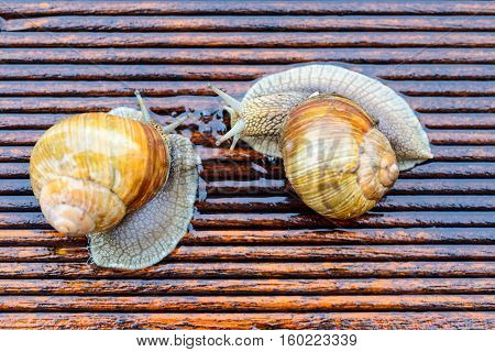 Snails meeting - slugs talking - Big snails on the wet terrace - Helix pomatia Burgundy snail Roman snail edible snail - shallow depth of field - copy space