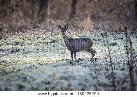 European Doe In Early Winter Forest