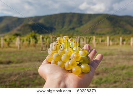 Bunch of juicy grapes in the farmer's hand. Vineyard and mountains on background