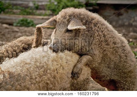 Hungarian breed of domestic pig called mangalica. Know for a thick, wooly coat similar to that of a sheep. On the photo mangalicas during mating season :)