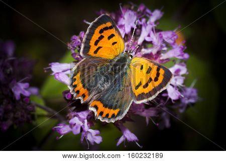 a common copper pollinating a purple flower