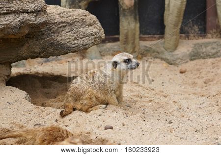 Meerkat, Suricate sitting on sand and rock