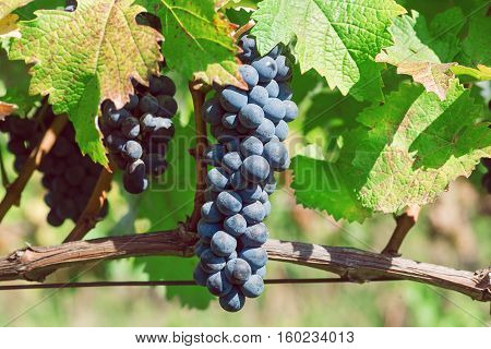 Blue color grapes ripening on the branch the farm. Vineyard with organic grape shoots at harvest time.