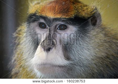 Close up of a curious Patas Monkey
