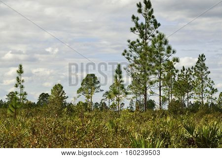 Long leaf  pine trees standing tall in the forest.