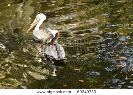 Two brown pelicans swimming in a pond.