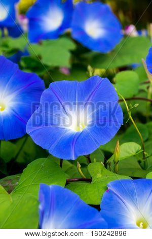 Closed up Blue morning glory in Chiang rai, Thailand