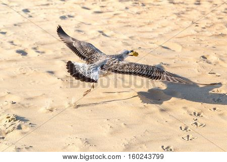 Seagull (Larus michahellis) is flying over the beach with food in its beak