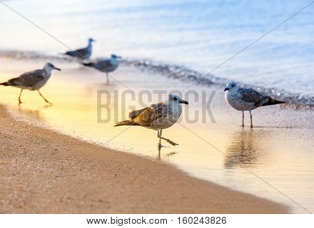 Several seagulls (Larus michahellis) are standing on a sandy beach on the Black Sea shore