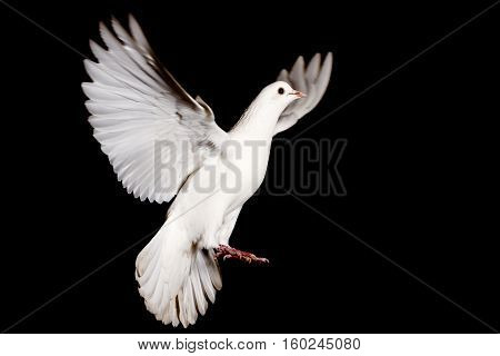 white dove of peace flying on a black background, pigeon, mail, good news, peace