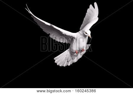 white dove flying on black background for freedom concept in clipping path, international day of peace 2017, pigeon, mail, good news, peace