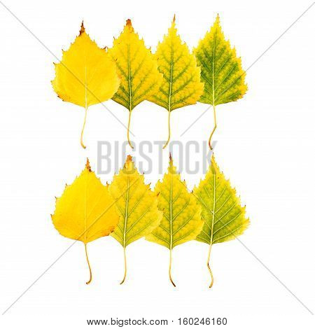 Close-up Photograph Of Front And Backside Of  Withering Autumnal Birch Tree Leaves Isolated