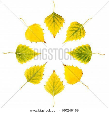 Close-up Photograph Of Front And Backside Of  Withering Autumnal Birch Tree Leaves Isolated Arranged