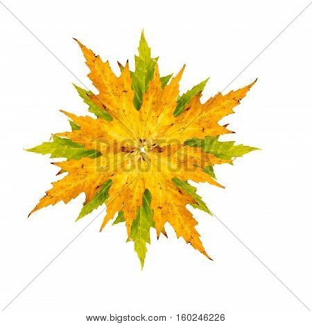 Close-up Photograph Of Maple Or Acer Tree Arranged As A Star Isolated