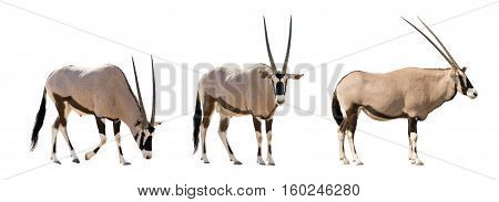 Set Of Three Gemsbok In Different Posing Isolated On White Background