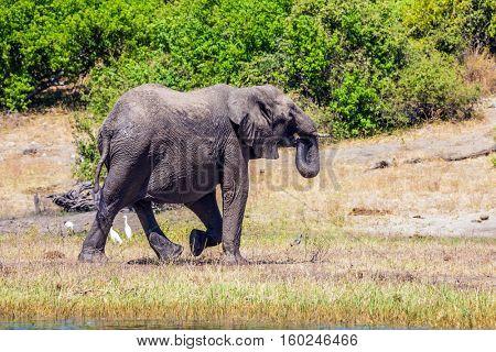 Watering large animals in the Okavango Delta. Elephants. Chobe National Park in Botswana. Fascinating journey to Africa